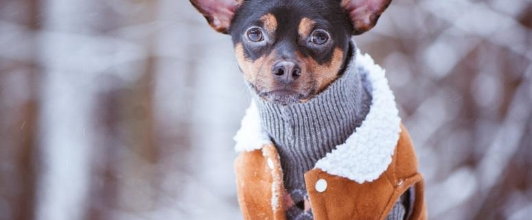 Dog in a snow jacket